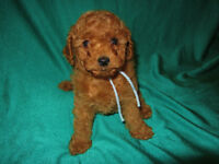 CKC REGISTERED MALE TOY POODLE PUPPY
