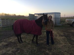 Mare for Free Lease Experienced Rider Duffield/Stony Plain