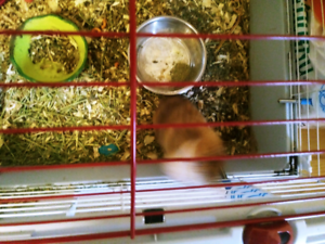 Female guinea pig 3 years old with everything very friendly