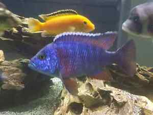 Looking for African cichlids