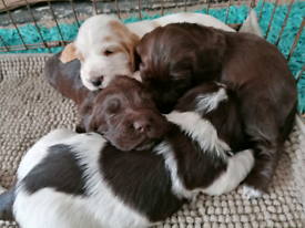 4 cocker pups for sale