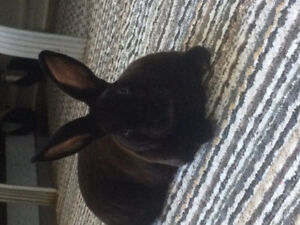 Dwarf inside bunny free too good home