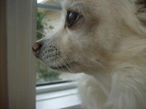 Chihuahua Missing! ***REWARD***
