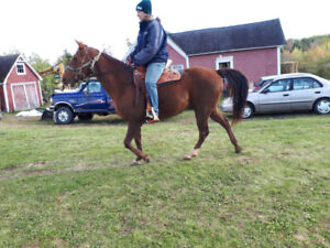 Qh mare 15 hands