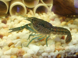 Marble Crayfish for sale.