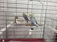 2 beautiful budgies birds with cage food