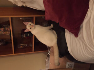 Flamepoint Siamese for rehoming