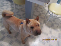 4-year-old male Shar Pei, named Frank