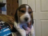 pure bred beagles