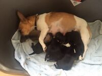 Jack Russell cross chihuahua only 3 left