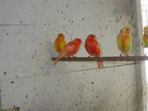 Red Factor canaries. London Ontario image 8