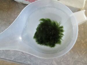 Moss Ball & Fresh Water FISH