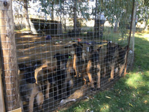 Chiots Bergers Belges Malinois