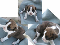Gorgeous Valley Bulldogs available soon -