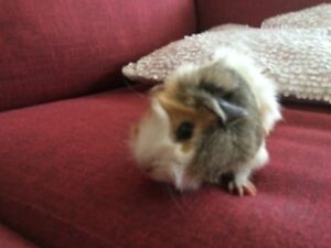 Guinea pigs and cage for sale