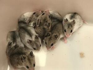 Magnifiques bébés hamsters chinois âgées de 5 semaines