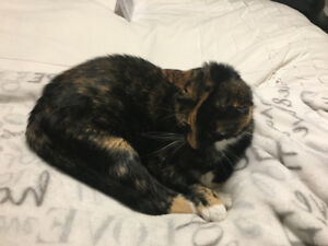 Tortoiseshell Cat for Adoption