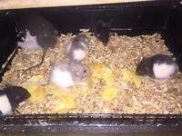 Baby dumbo rats  not to be used as food
