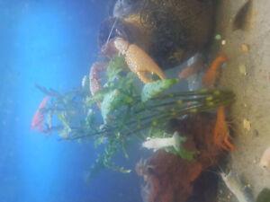 ecrevisses Orange bleu blanc gris rose jaune de la lousianne