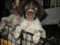 Beautiful Brittany Spaniel Puppies (Only one left)