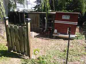 Chicken's, chicken coop, run and gate/fencing. All you need!