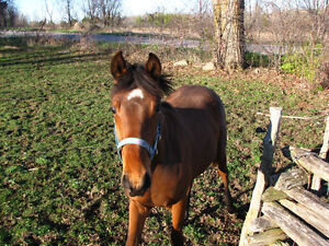 MORGAN X THOROUGHBRED YEARLING COLT Peterborough Peterborough Area image 2