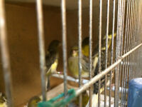 Canaries and breeding cages for sale