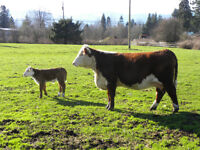 10 Hereford cow calf pairs for sale