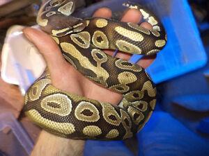 2013 Mojave Ball Python