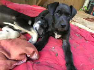 Gorgeous Great Dane x Puppy!!  Last one!!