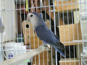 Beautiful pair of white-faced blue lovebirds