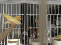 Pretty Yellow Beatle Head Canaries
