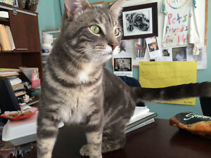 """Male silver tabby young """"BURWELL"""""""