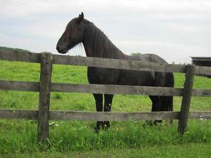 Friesian Horses London Ontario image 4
