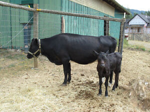 Dexter Cow with Calf