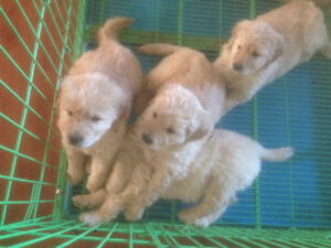 Lovely puppies looking for new home