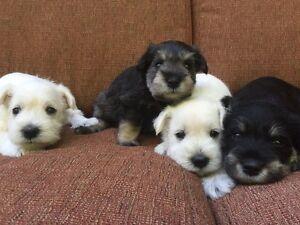 Purebred miniature schnauzer puppies (ALL SOLD)