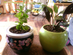 "2 healthy and growing nicely plants in pretty 6"" ceramic pots."