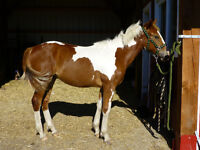 BEAUTIFUL AND GENTLE PAINT COLT