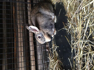 Young female rabbit for sale