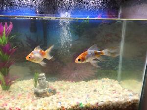 1 month old aquarium with 2 goldfish for sale.