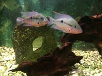 Tropical fish Firemouths