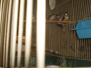 Finches for Sale Sarnia Sarnia Area image 3