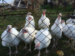"Young ""Heavy White Turkeys"""