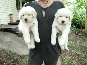 Maremma Retriever X Malamute Dingo Puppies for sale Tuntable Creek Lismore Area Preview