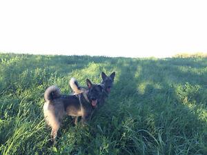 Elkhounds for sale