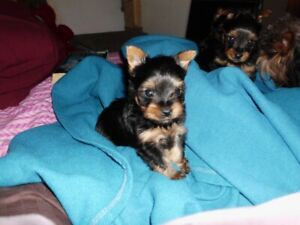 MINI MALE YORKSHIRE TERRIER PUPPY