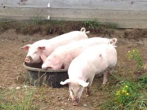 Pigs forsale