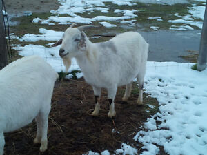 Apologise, but, nubian goat sperm for sale
