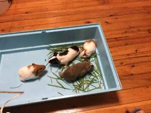 Lovely Baby Guinea Pig Chatswood Willoughby Area Preview